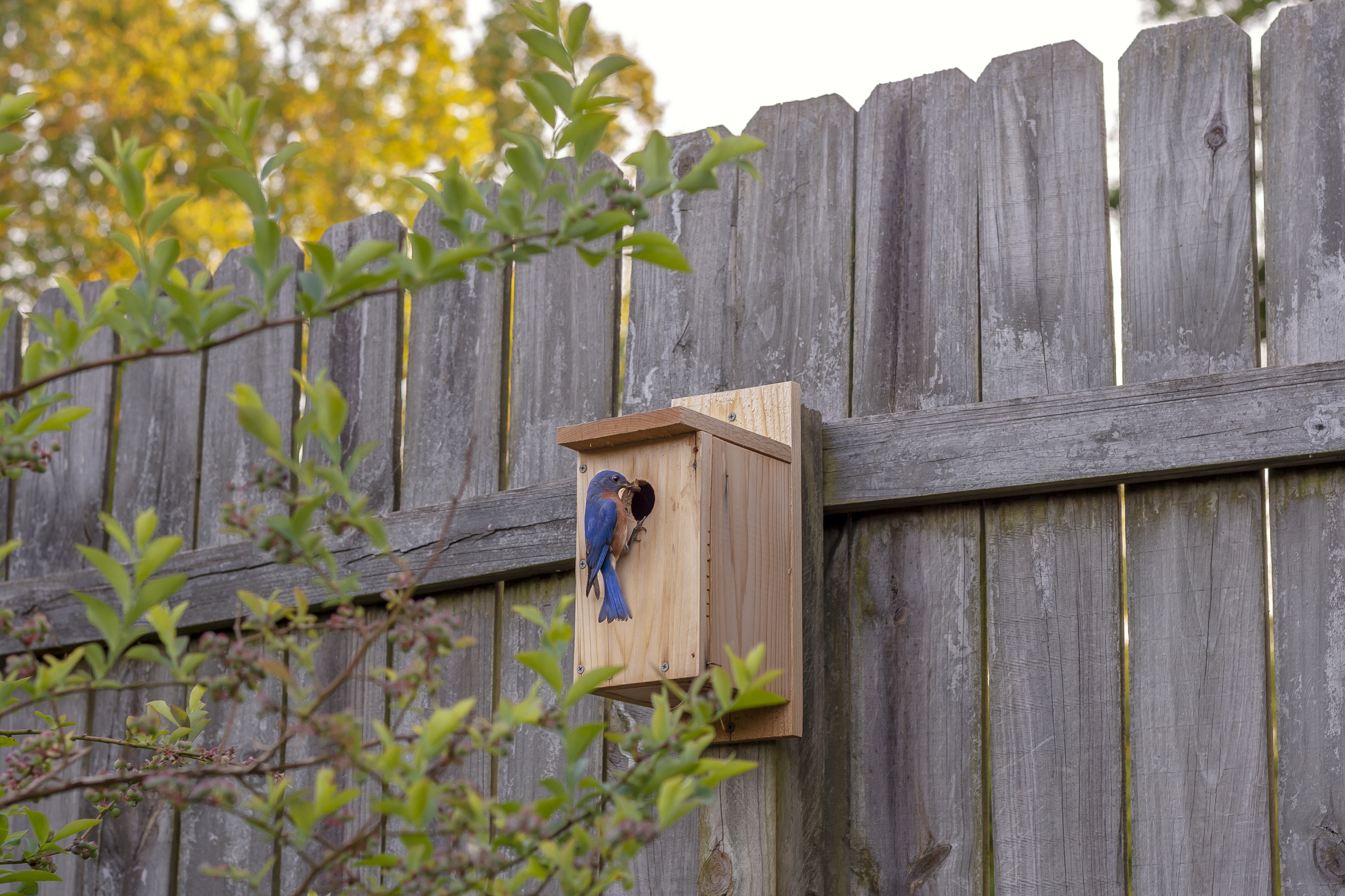 Male Bluebird in Birdhouse